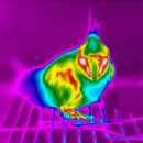 newc_cat_head_dig-thermo-1