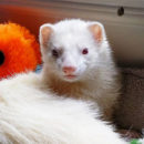 newc_cat_head_ferret-2