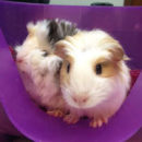 newc_cat_head_guinea-pig